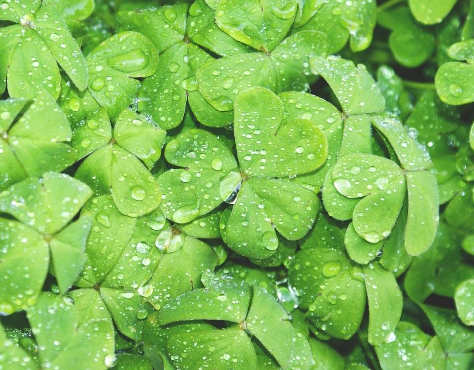 clovers-690175_1280