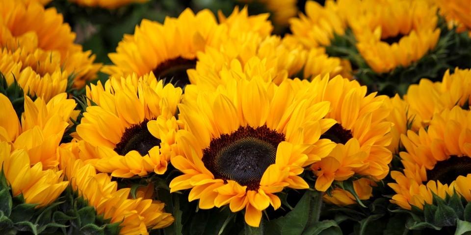 sunflower-378270_960_720
