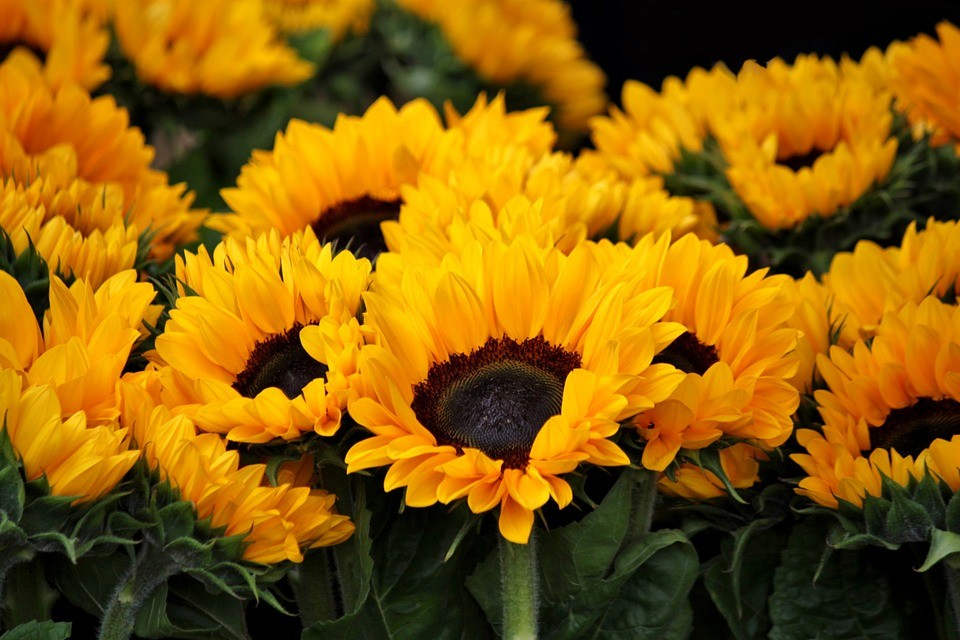 sunflower-378270_960_720
